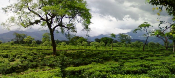 Tea_garden_in_dooars